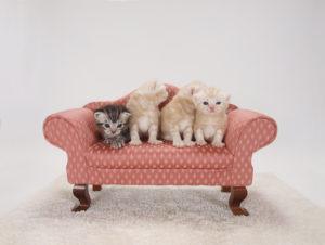 かわいいソファーに乗っている子猫達