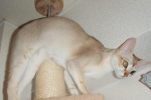 爪とぎができるキャットタワーに乗っている猫